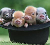 关于生肖猪和什么生肖最配分析