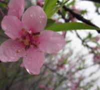 人间四月芳菲尽,山寺桃花始盛开全诗带解释