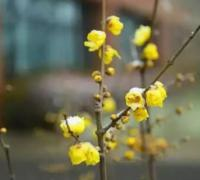 腊梅花花语是什么?腊梅花语及寓意