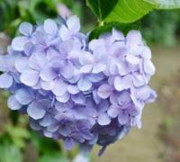 绣球花花语是什么?绣球花花语寓意