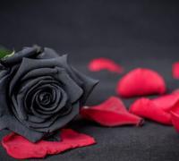 黑玫瑰花语代表是什么?黑玫瑰花语寓意