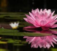 睡莲花语是什么含义