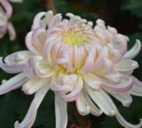 菊花代表什么象征意义?菊花的花语介绍
