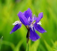 鸢尾花是哪国的国花?法国国花鸢尾花寓意