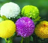 乒乓菊花语是什么,乒乓菊能送人吗