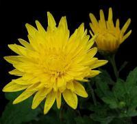 黄菊花的花语是什么,黄菊花的象征意义