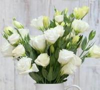 白色桔梗花的花语