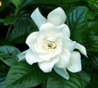 白色的山茶花代表什么,白色山茶花的花语图片